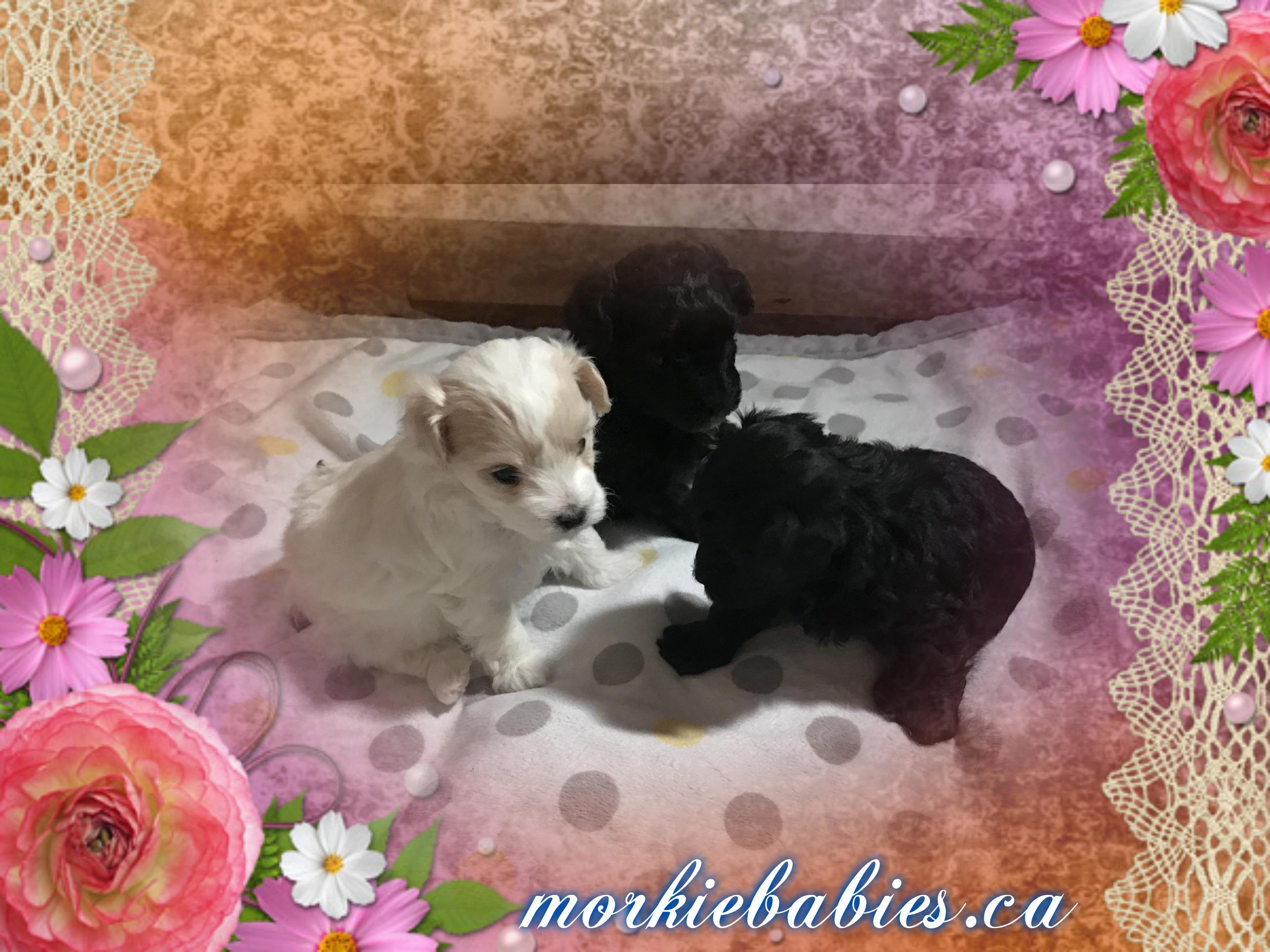 Morkie Babies